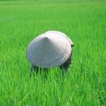 Planting rice -Vietnam